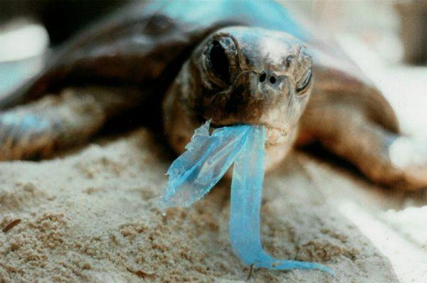 contaminacion-de-los-mares-tortuga-comiendo-plasticos-600x398